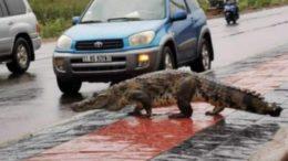 Des crocodiles dans les rues de Ouagadougou